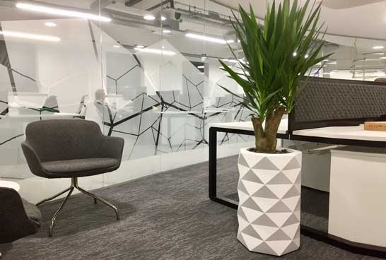 White planter with Yucca office plant