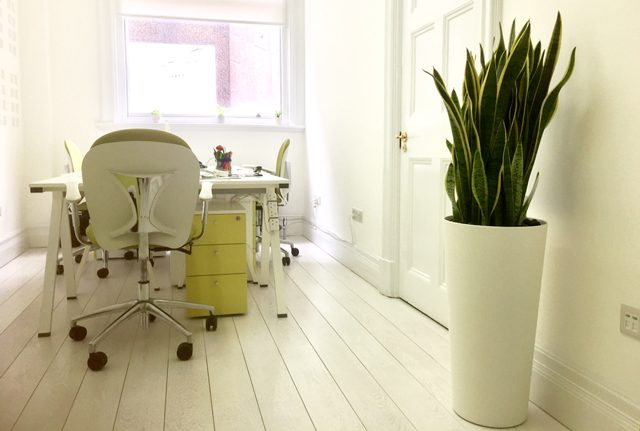 Sansevieria office plant display